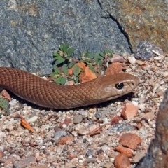 Pseudonaja textilis (Eastern Brown Snake) at ANBG - 12 Mar 2019 by RodDeb