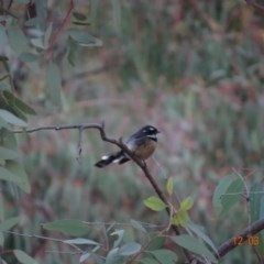 Rhipidura fuliginosa (Grey Fantail) at Red Hill Nature Reserve - 12 Mar 2019 by TomT
