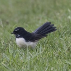 Rhipidura leucophrys (Willie Wagtail) at Queanbeyan, NSW - 12 Mar 2019 by Alison Milton