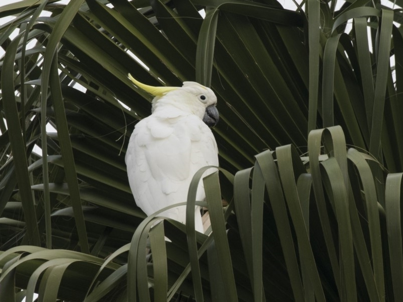 Cacatua galerita at Queanbeyan, NSW - 13 Mar 2019