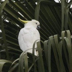 Cacatua galerita (Sulphur-crested Cockatoo) at Queanbeyan, NSW - 12 Mar 2019 by Alison Milton