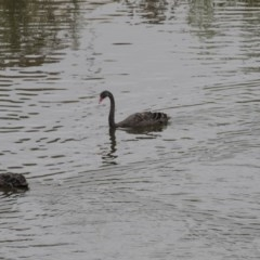 Cygnus atratus (Black Swan) at Queanbeyan, NSW - 12 Mar 2019 by Alison Milton