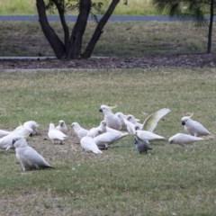 Cacatua sanguinea (Little Corella) at Queanbeyan East, NSW - 12 Mar 2019 by Alison Milton