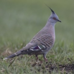 Ocyphaps lophotes (Crested Pigeon) at Queanbeyan, NSW - 12 Mar 2019 by Alison Milton