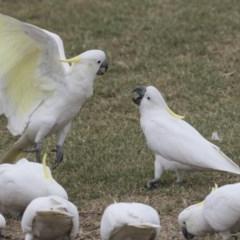 Cacatua galerita (Sulphur-crested Cockatoo) at Queanbeyan East, NSW - 12 Mar 2019 by Alison Milton
