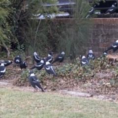 Gymnorhina tibicen (Australian Magpie) at Queanbeyan East, NSW - 12 Mar 2019 by Alison Milton