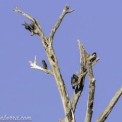 Artamus cyanopterus (Dusky Woodswallow) at Pine Island to Point Hut - 9 Mar 2019 by BIrdsinCanberra