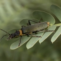 Chauliognathus lugubris (Plague soldier beetle) at Queanbeyan East, NSW - 13 Mar 2019 by AlisonMilton