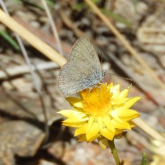 Zizina otis (Common Grass-blue) at Mount Taylor - 11 Mar 2019 by MatthewFrawley