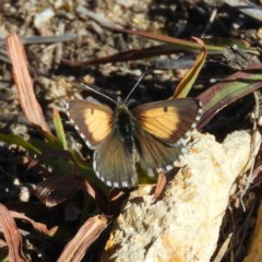 Lucia limbaria (Chequered Copper) at Mount Taylor - 11 Mar 2019 by MatthewFrawley