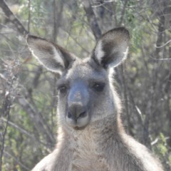 Macropus giganteus (Eastern Grey Kangaroo) at Mount Taylor - 11 Mar 2019 by MatthewFrawley