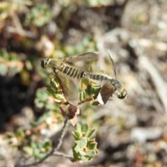 Comptosia sp. (genus) (Unidentified Comptosia bee fly) at Kambah, ACT - 11 Mar 2019 by MatthewFrawley