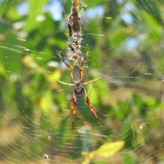 Nephila edulis (Golden orb weaver) at Mount Taylor - 11 Mar 2019 by MatthewFrawley