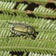 Diphucephala sp. (genus) (Green Scarab Beetle) at Queanbeyan East, NSW - 12 Mar 2019 by AlisonMilton