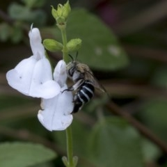 Amegilla (Zonamegilla) asserta (Blue Banded Bee) at Queanbeyan East, NSW - 12 Mar 2019 by AlisonMilton