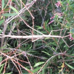 Ctenomorpha marginipennis (Margin-winged stick insect) at Ulladulla, NSW - 15 Mar 2016 by CBrandis