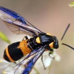 Pterygophorus cinctus (Ringed sawfly or Bottlebrush sawfly) at Macquarie, ACT - 28 Dec 2016 by Heino1