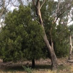 Exocarpos cupressiformis (Cherry Ballart) at Mount Ainslie - 14 Mar 2019 by jbromilow50