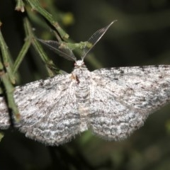 Phelotis cognata (Long-fringed Bark Moth) at Mount Ainslie - 19 Feb 2019 by jbromilow50