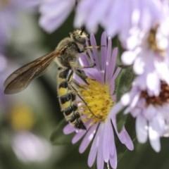 Radumeris tasmaniensis (Yellow Hairy Flower Wasp) at Higgins, ACT - 14 Mar 2019 by AlisonMilton