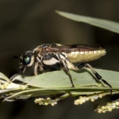 Pergidae sp. (family) (Unidentified Sawfly) at Higgins, ACT - 13 Mar 2019 by AlisonMilton