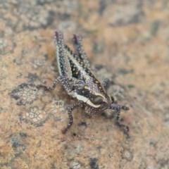 Monistria concinna (Southern Pyrgomorph, Southern Gaudy Grasshopper) at Brindabella National Park - 14 Mar 2019 by rawshorty