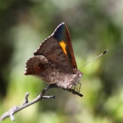 Paralucia aurifer (Bright Copper) at Gibraltar Pines - 30 Oct 2018 by HarveyPerkins
