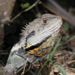 Intellagama lesueurii (Eastern Water Dragon) at Gibraltar Pines - 30 Oct 2018 by HarveyPerkins