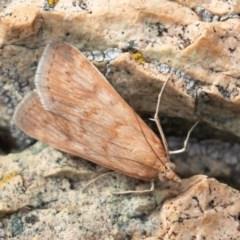Achyra affinitalis (Cotton Web Spinner) at Brindabella National Park - 15 Mar 2019 by rawshorty
