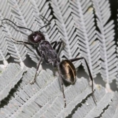 Camponotus suffusus (Golden-tailed sugar ant) at Acton, ACT - 14 Mar 2019 by AlisonMilton
