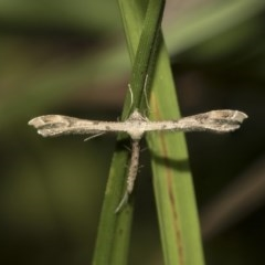 Stenoptilodes taprobanes (Plume Moth) at ANBG - 14 Mar 2019 by Alison Milton