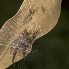 Deliochus sp. (genus) (A leaf curling spider) at ANBG - 14 Mar 2019 by Alison Milton