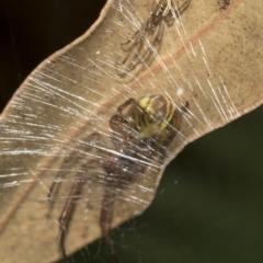 Deliochus sp. (genus) at ANBG - 15 Mar 2019