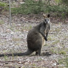 Wallabia bicolor (Swamp Wallaby) at ANBG - 14 Mar 2019 by Alison Milton