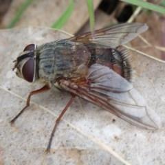 Rutilia (Rutilia) sp. (genus & subgenus) (Bristle fly) at Mongarlowe River - 12 Mar 2019 by JanetRussell