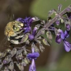 Amegilla (Zonamegilla) asserta (Blue Banded Bee) at ANBG - 14 Mar 2019 by Alison Milton
