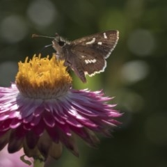 Dispar compacta (Barred skipper) at ANBG - 15 Mar 2019 by AlisonMilton