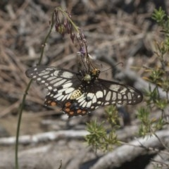 Papilio anactus (Dainty Swallowtail) at ANBG - 15 Mar 2019 by Alison Milton