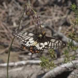 Papilio anactus at ANBG - 15 Mar 2019
