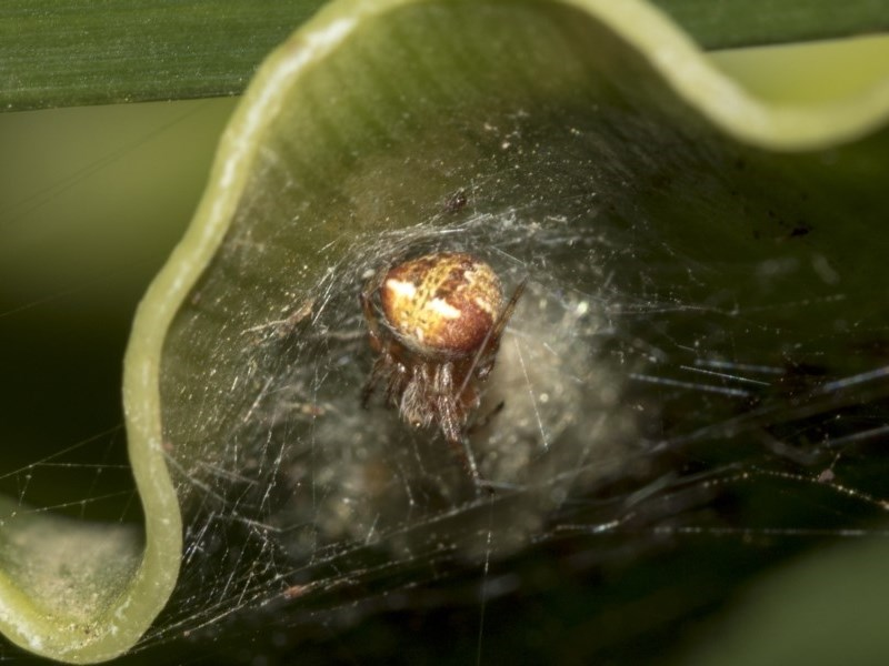Araneus albotriangulus at ANBG - 15 Mar 2019