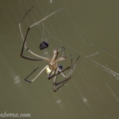 Tetragnatha sp. (genus) (Long-jawed spider) at Mount Mugga Mugga - 10 Mar 2019 by BIrdsinCanberra