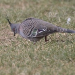 Ocyphaps lophotes (Crested Pigeon) at Queanbeyan East, NSW - 12 Mar 2019 by Alison Milton