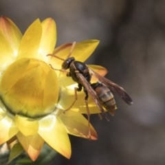 Polistes (Polistella) humilis (Common Paper Wasp) at ANBG - 15 Mar 2019 by AlisonMilton
