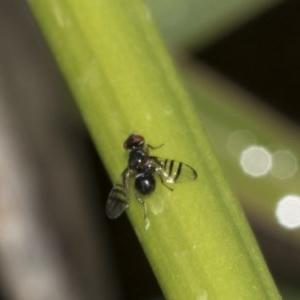 Rivellia sp. (genus) at ANBG - 15 Mar 2019