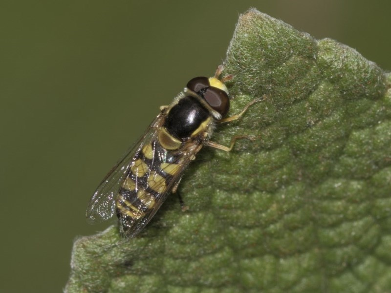 Simosyrphus grandicornis at Acton, ACT - 15 Mar 2019