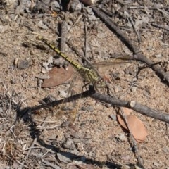 Orthetrum caledonicum at Hughes Grassy Woodland - 15 Mar 2019