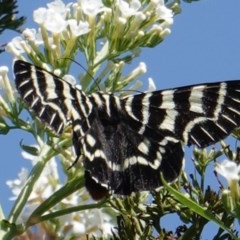 Comocrus behri (Mistletoe day moth) at Hughes, ACT - 15 Mar 2019 by JackyF