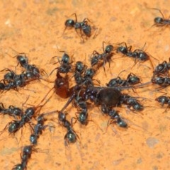 Iridomyrmex rufoniger at ANBG - 8 Mar 2019