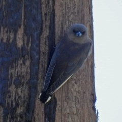 Artamus cyanopterus (Dusky Woodswallow) at Jerrabomberra Wetlands - 15 Mar 2019 by RodDeb