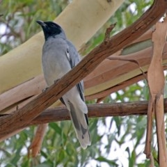 Coracina novaehollandiae (Black-faced Cuckooshrike) at Jerrabomberra Wetlands - 15 Mar 2019 by RodDeb